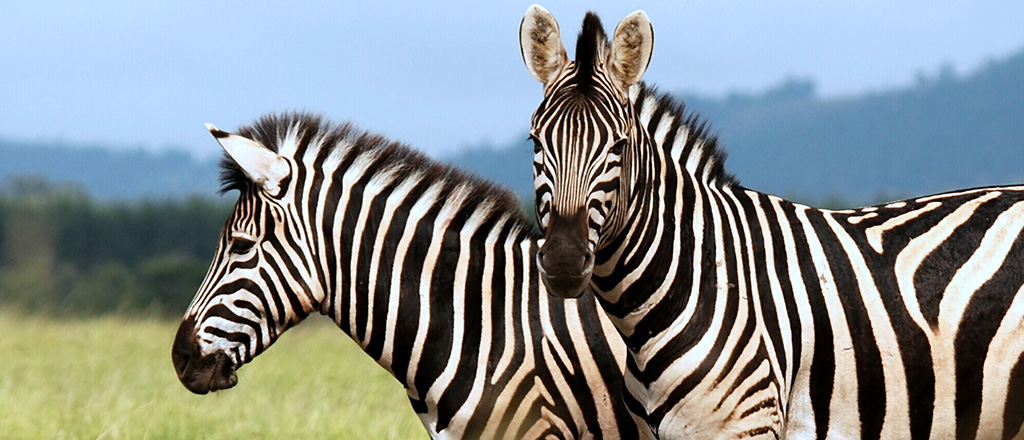 Bife de zebra