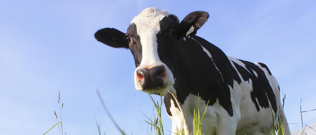 Queijo de laboratório dispensa vacas